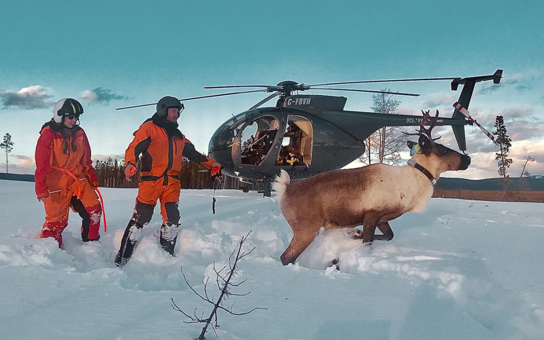 Caribou capture Oceanview Helicopters